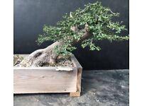 Specimen Large Yamadori Wild Olive Bonsai
