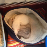 Ferrets with everything for sale !