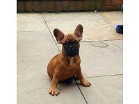 French Bulldog puppies boy