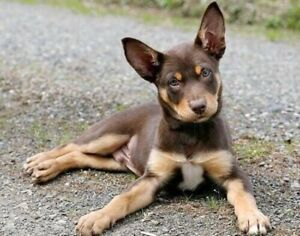 LOOKING FOR Female red and tan kelpie pup