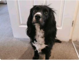 4 beautiful Sprocker puppies for sale