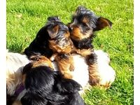 Cracking Yorkshire terrier pups
