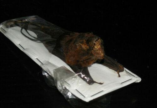 MINIOPTERUS MEDIUS INTERMEDIATE LONG FINGERED HANGING BACK BAT TAXIDERMY