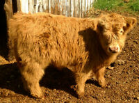 HIGHLAND CATTLE FOR SALE