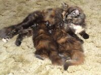 Two Long Haired Calico Female Kittens Need Good Homes