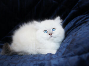 Blue Eyed Persian Kittens for Rehoming