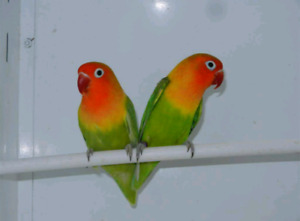 Bounded Matted Pair Of Lovebirds For Sale