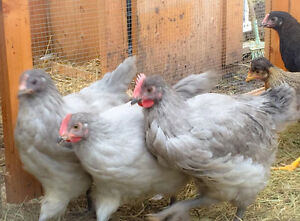 Rhodebar, Lavender Orpington & Black Copper Marans Roosters Prince George British Columbia image 9