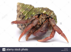 Wanted: Adopting Unwanted Hermit Crabs