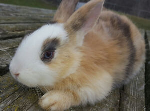 Soft & Cute Blue Eyed Large Breed Baby Rabbits