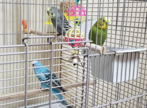 Lovely budgies with cages