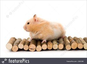 teddy bear hamster that needs a good home