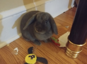 HOLLAND LOP BUNNY ~ GREAT WITH KIDS!! looking for a forever home
