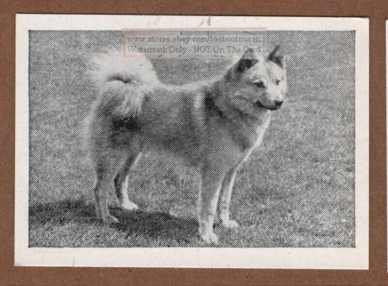 Finnish Spitz Dog Canine Pet 1950s Ad Trade Card