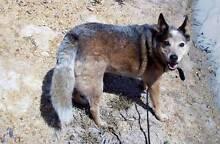 """FOXI""  Medium Female Australian Cattle Dog Toowoomba Toowoomba City Preview"