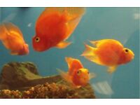 4 parrot fish for sale not sure on gender offers