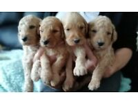 Stunning health tested golden doodles