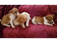 MINIATURE JACK RUSSELL Puppies 4 Girls 8wks