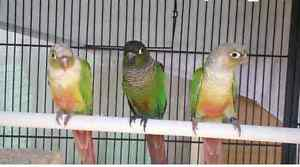 Pineapple conure for sale Adelaide CBD Adelaide City Preview