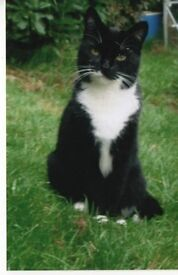 Lost and missing black cat with white breast, neck and paw ends 15/03/17