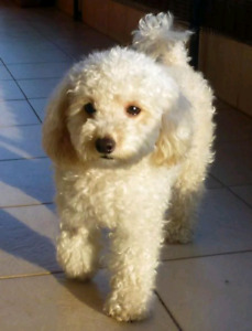 Proven miniature poodle stud for sale(2 years old)