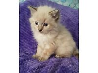 Ragdoll kittens looking for loving homes