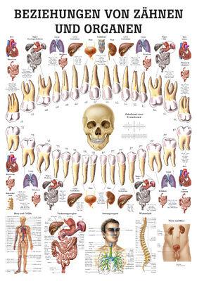 Rüdiger Anatomie Beziehung Von Zähnen Und Organen Poster 24cm x 34cm NEU & OVP