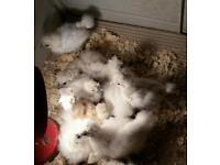 3 White silkie chickens