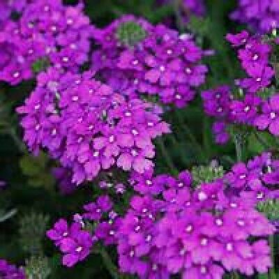 MOSS VERBENA FLOWER 100 FRESH SEEDS FREE USA SHIPPING Free Flower Seeds