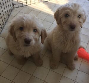 Goldendoodles puppies. 2 males left
