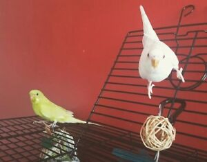 Pair of budgies ( male & female )