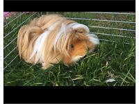 Guinea pig + cage