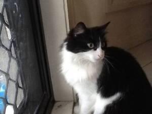 Lost Cat in Jerrabomberra - Black and white medium sized female Jerrabomberra Queanbeyan Area Preview