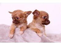 Gorgeous Long Coat Puppies