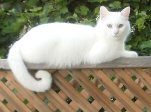 Lost White Cat in the Hyland/Wembley/Regent Area