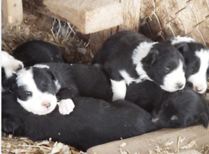 Border Collie pups from proven working lines