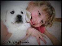 BEAUTIFUL CKC CHAMPION LINED WHITE ENGLISH LABRADORS