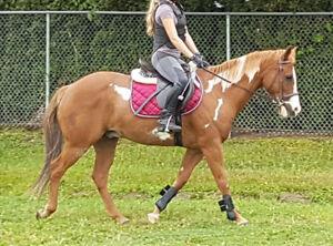 14hh paint gelding, approx 14 y.o., price reduced for quick sale