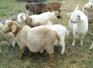 Meat goat herd for sale