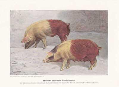 Halbrote Landschweine Schweine Farbdruck  1925 Reprint Schweinerassen