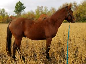 Quarter Horse quick project