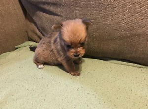 Pomeranian mix Yorkshire puppies for sale