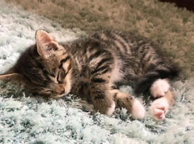 Kittens x 3 Brothers Tabby