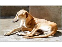 Very Loving Home Needed for Lenny - 1 yr old male Lurcher :)