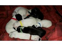 Staffy Cross English Springer Spaniel puppies