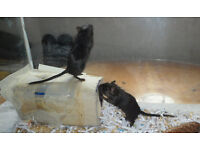 baby black gerbils £5 for two