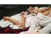 Gorgeous home-reared fluffy ginger kittens