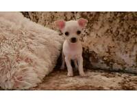 Chihuahua Puppies for Sale (Girls)