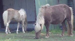 Miniature horse/pony- Mare and filly foal and back in foal (3) Cooroy Noosa Area Preview