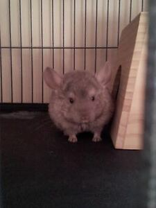 Eleanor the 1-year-old Chinchilla Kit